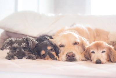 並んでベッドで眠る4匹の犬