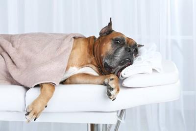 マッサージ台の上で横になる犬