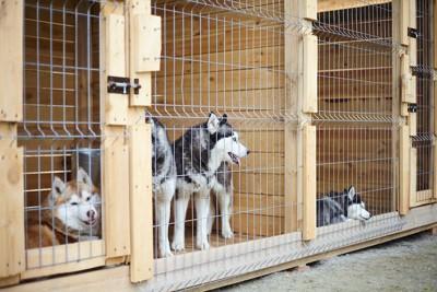 木製のケージの中にいる数頭のハスキー犬