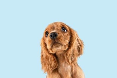 斜め上を見ている犬