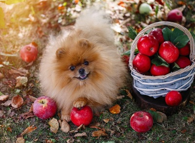 ポメラニアンとりんご