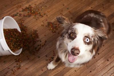 ブルーの目の犬