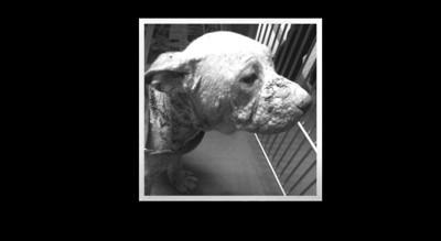毛のない犬の横顔