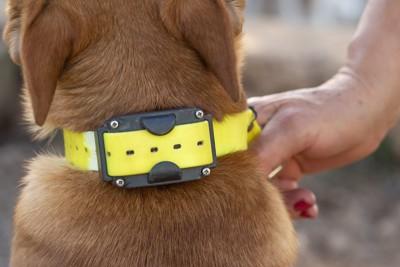 黄色い首輪をしている犬