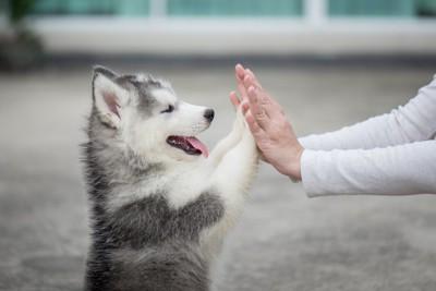 飼い主と両手でタッチする子犬