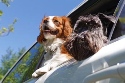 車の窓から顔を出す二頭の犬