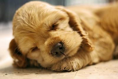 コクシジウムに感染した犬