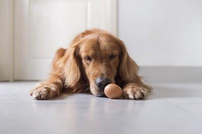 卵を見つめる犬