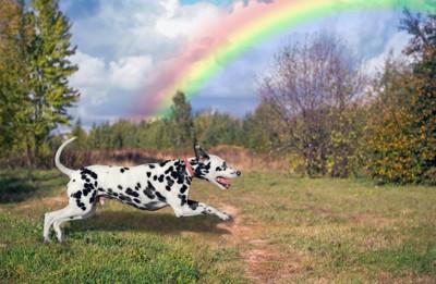 虹を背景に走るダルメシアン