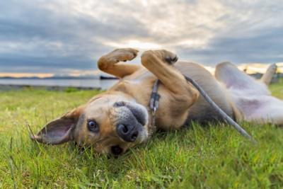 幸せそうに仰向けになっている犬
