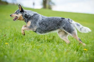 草原を走るオーストラリアンキャトルドッグ