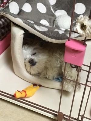 愛犬の寝顔写真7枚目