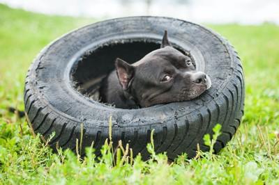 タイヤの中でくつろぐ黒い犬