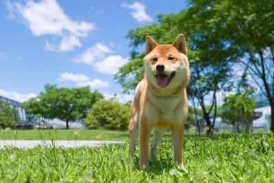 芝生の上に笑顔で立つ柴犬