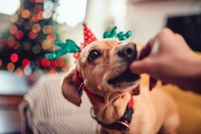クリスマスパーティーで飼い主からおやつをもらっている犬