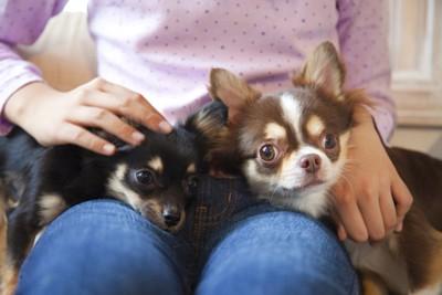 膝の上に乗っている二匹の犬