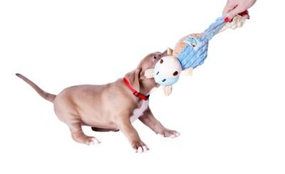 おもちゃを取られないように引っ張る犬