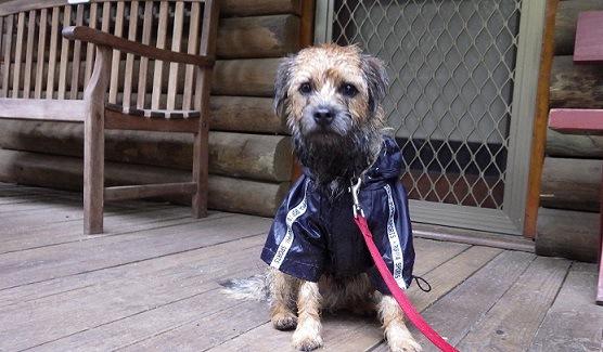 雨で濡れた犬