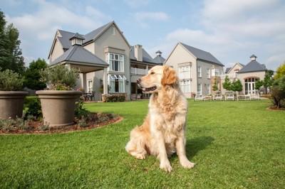 家と広い芝生の庭とゴールデンレトリーバー