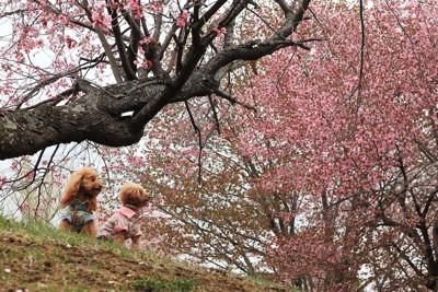 桜の下に座る2匹のトイプードル