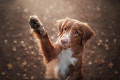 右足を上げた茶色の子犬