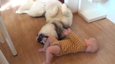 お腹を見せる犬