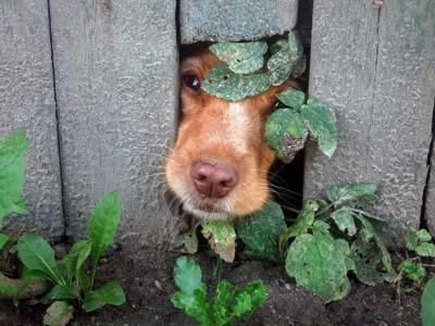 隙間から顔を出す犬