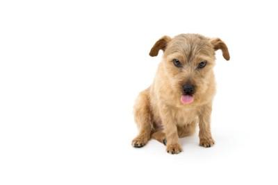 舌を出しておすわりする犬