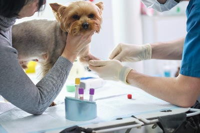 血液検査をする犬