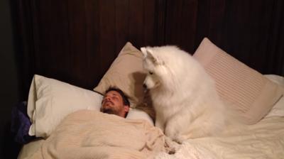 飼い主さんを起こすサモエド