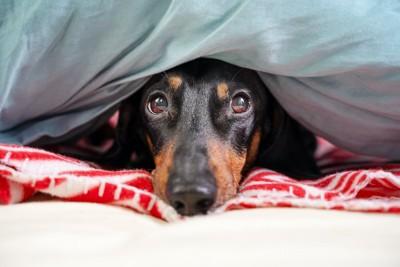 布団に隠れるダックスフンド
