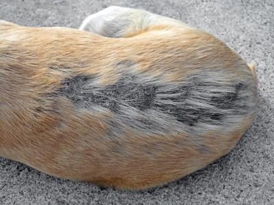 脱毛している犬の背中