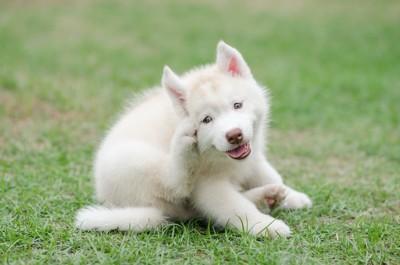 後あしで顔を掻いているハスキー犬のパピー