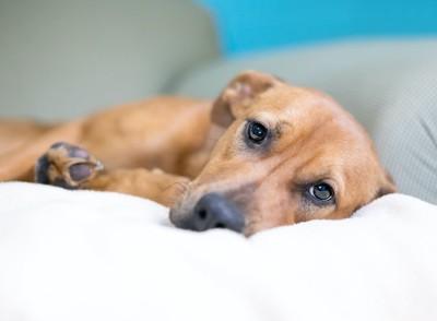悲しげな顔で横になっている犬