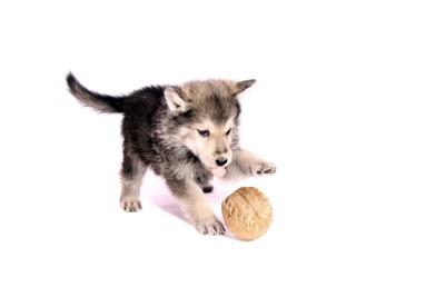 ボールで遊ぶウルフハウンドの子犬