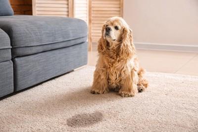 犬の前にカーペットの染み