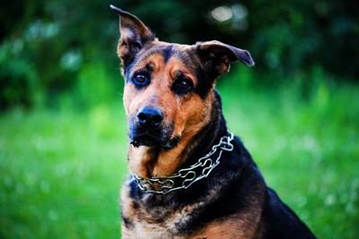 チェーンのネックレスをした犬