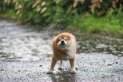 濡れた地面でブルブルする犬