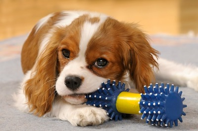 青いおもちゃをかじる犬