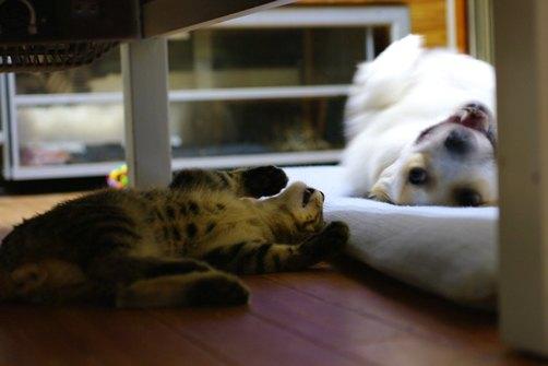 寝転がるコーギーのジンちゃんと寝転がる猫のドルマ