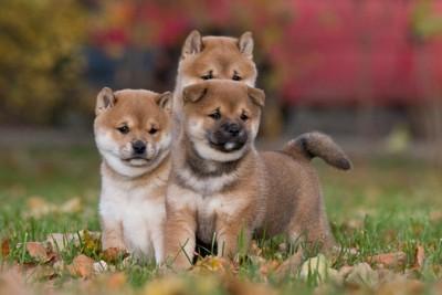 三匹の柴子犬
