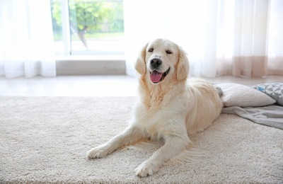 カーペットにいる可愛らしい犬