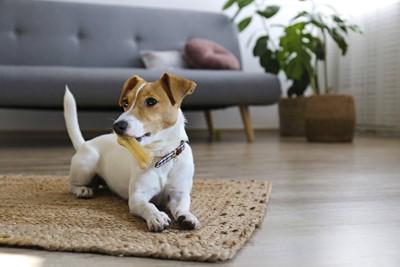 マットの上でオモチャを咥える犬