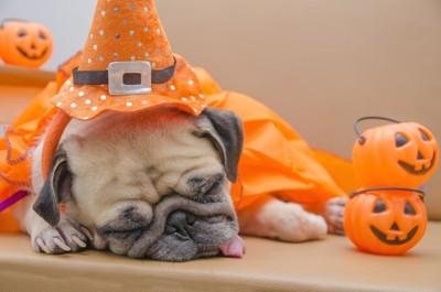ハロウィンの格好をして寝るパグ
