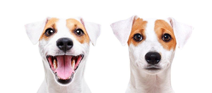 2種類の表情のジャックラッセルテリア