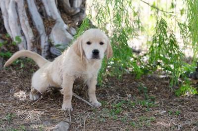 散歩中におしっこをするゴールデンレトリバーの子犬