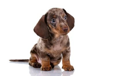 133211692 ダップルのダックスフンドの子犬