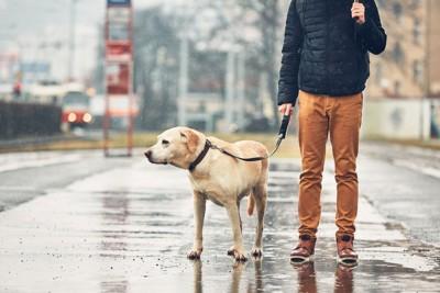 雨の中お散歩するレトリバー