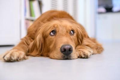床に伏せて上目遣いをしている犬