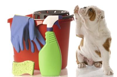 掃除道具の隣で手を上げるブルドッグ